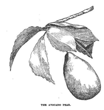 "engraving labeled ""the avocado pear"""