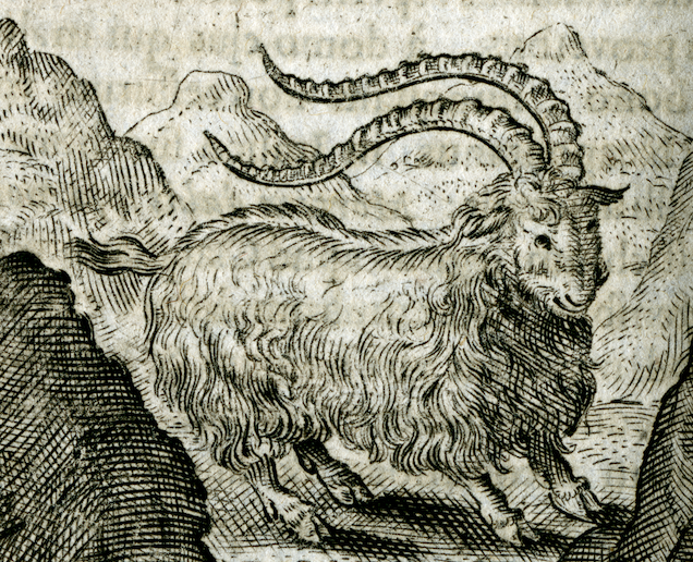 engraving of a hairy goat in the mountains