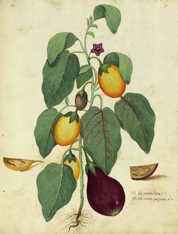 botanical illustration of eggplants growing