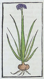 colored woodcut of onion plant